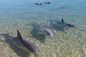 Monkey-Mia-Dolphins-101-Everything-You-Need-to-Know